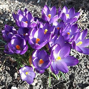 krokus-blomster